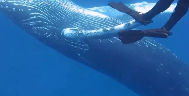 潜水员不禁悄悄游近鲸鱼身旁与它共舞