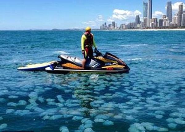 黄金海岸出现一大群蓝水母