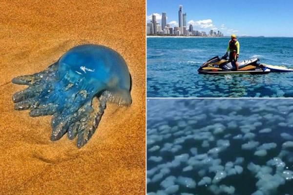 大群水母漂浮在离海岸400米左右的海面,周围大约50米全是密密麻麻的水母。