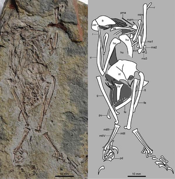 """原""""有尾华夏鸟(Cathayornis caudatus)"""",现重新命名为""""有尾侯氏鸟(Houornis caudatus)(王敏供图)"""