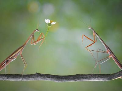 印尼摄影师拍摄到一幕非常独特的场景:一只螳螂手捧鲜花向另一只螳螂求爱