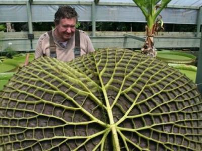 """澳洲一片最大的叶子""""亚马逊睡莲""""在维州被发现"""