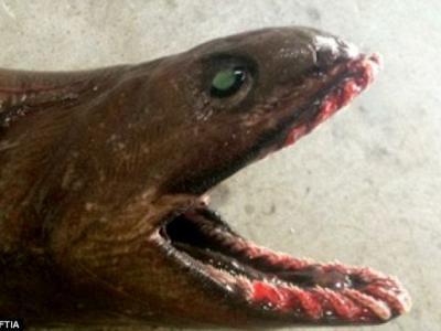 """澳大利亚渔民捕到拥有8000万年历史的""""活化石""""皱鳃鲨"""