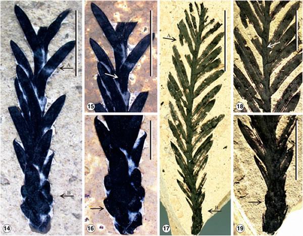 """云南发现大量红杉属化石:确定为新种""""马关红杉""""(Sequoia maguanensis)"""