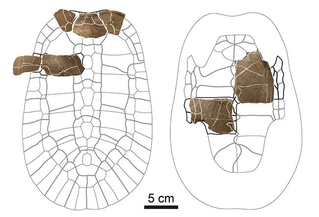 """1.2亿年前阿杜库斯龟属新种""""千石峡阿杜库斯龟""""化石复原。背侧壳(左)和腹侧(右图)。"""