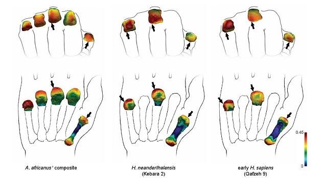 非洲南方古猿以及其它古人类在320万年前就有人类那样的手