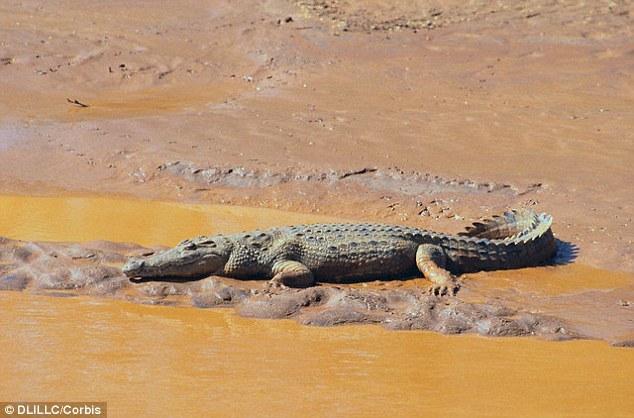 """这种古老的爬行动物具有类似鳄鱼的背板(如图所示),但它们的腿又像恐龙。它们的名字Nundasuchus songeaensis意思是""""掠食者鳄鱼"""",其中""""und"""