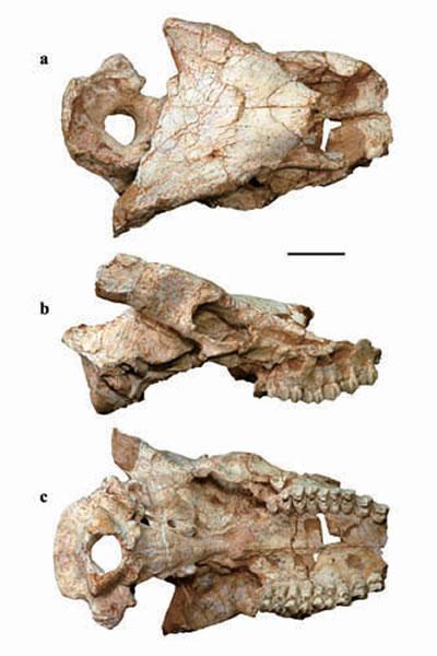 采自甘肃临夏盆地的大真角鹿(Euprox grandis)头骨化石,正型标本(侯素宽供图)