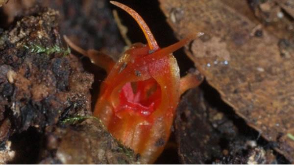 澳大利亚植物学家在悉尼郊区的蓝山发现一种新植物 散发臭鱼味道