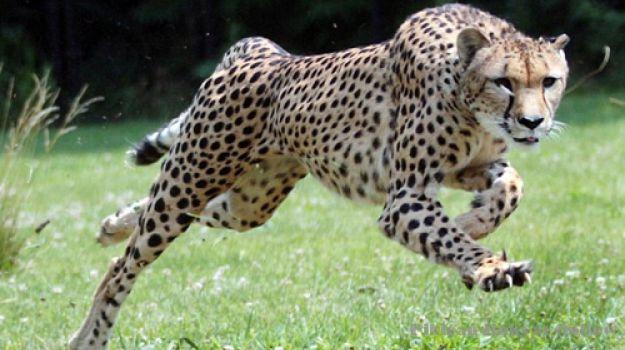 最新研究指出猎豹跑得没有想像中那么快 - 神秘
