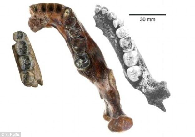 """图像中间是最新发现的""""澎湖下颚骨"""",比爪哇岛直立人颚骨(图中左侧)和中国直立人颚骨(图中右侧)都要大。研究人员指出,澎湖下颚骨属于年轻远古人类的骨骼,它应当属于"""