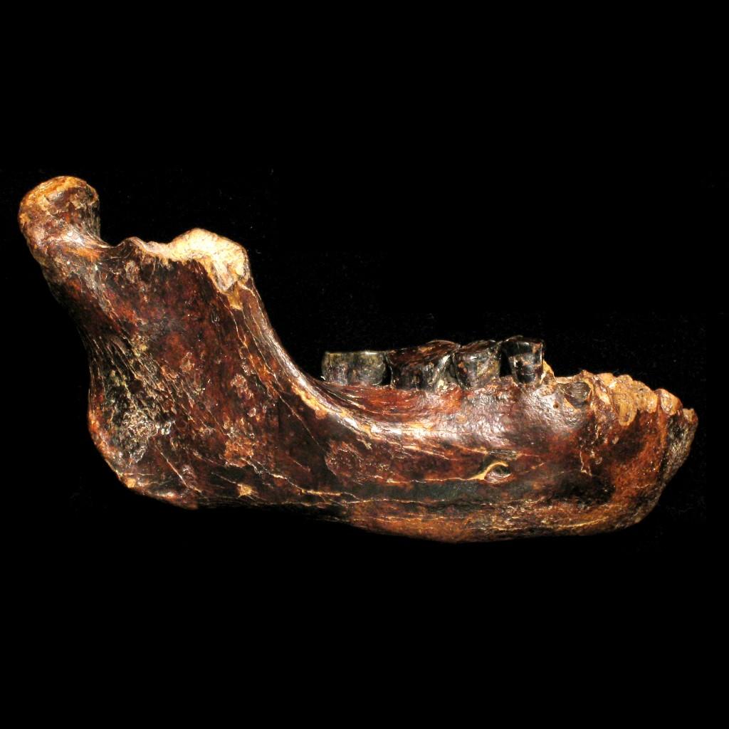 澎湖原人之右下颚骨化石,从臼齿磨蚀的情况研判,澎湖原人已是一个成年个体。图片来源:国立自然科学博物馆。