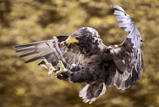 猎物应该如何鹰爪逃生?尽可能迅速地冲向一边