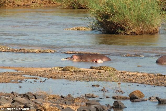 英国生物学家在南非克鲁格国家公园拍到河马嗜食同类的可怕一幕
