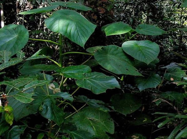 世界公认的毒树——长于澳洲东北部、印尼的金皮树