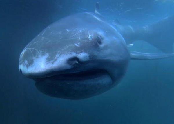 全世界目前仅发现过60条巨口鲨,属极罕有品种。(资料图片)