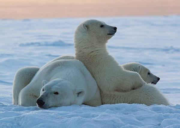 北极熊会在雪地留下 有味 脚印吸引异性