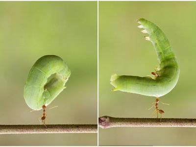 动物界的大力士:印尼少年拍摄到一只编织蚁竟只用下巴就举起一条大毛毛虫