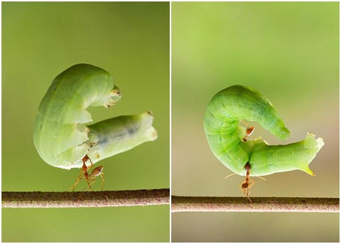 毛虫的体型比蚂蚁大得多