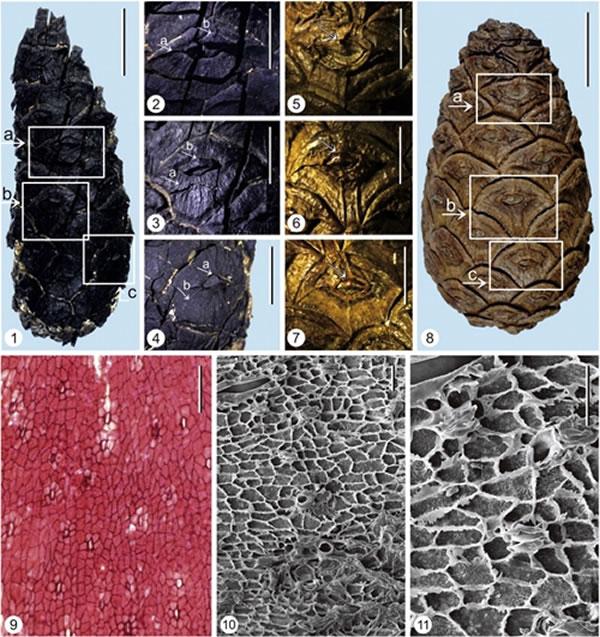 马尾松化石和现代种形态比较