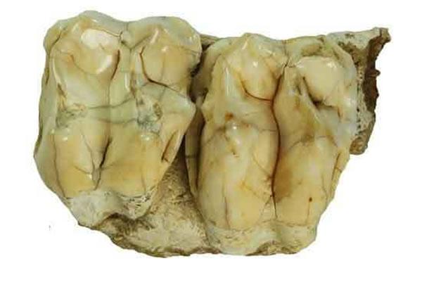 华南巨貘牙齿化石