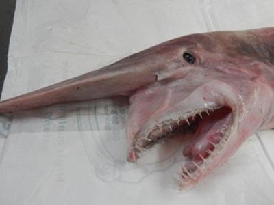 """澳洲渔夫在新南威尔士南部海岸钓获""""活化石""""鲨鱼--欧氏尖吻鲨"""