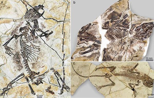 1.6亿年前的真贼兽化石