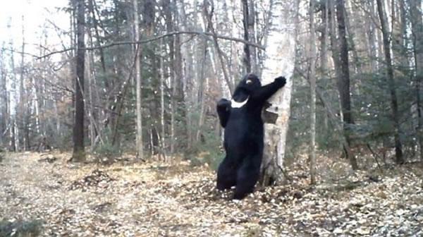 """俄罗斯符拉迪沃斯托克一只黑熊在树林""""跳钢管舞"""""""