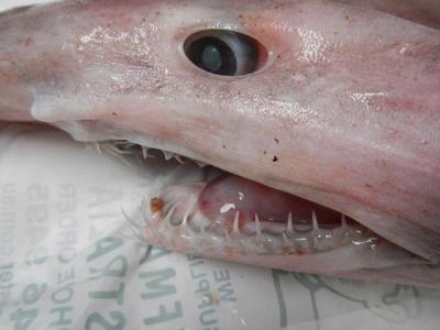 澳洲渔夫意外捕获到起源于1.25亿前的史前鲨鱼——哥布林鲨(Goblin Shark)