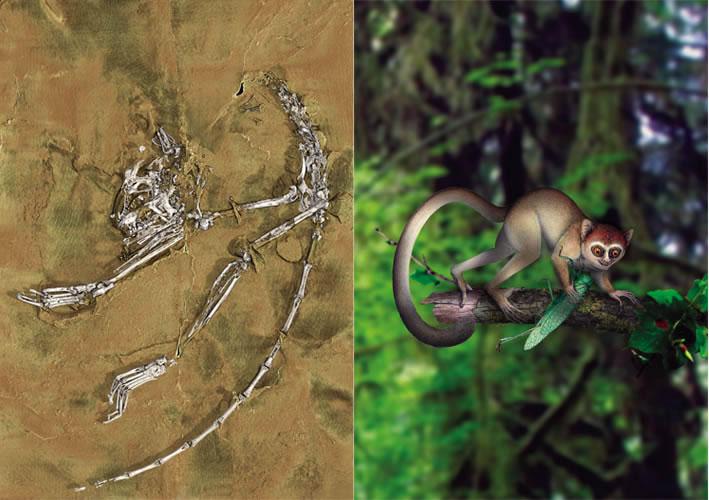 倪喜军研究员2013年关于阿喀琉斯基猴的研究,被国际同行认为是古灵长类学研究领域有史以来最重要的发现之一。