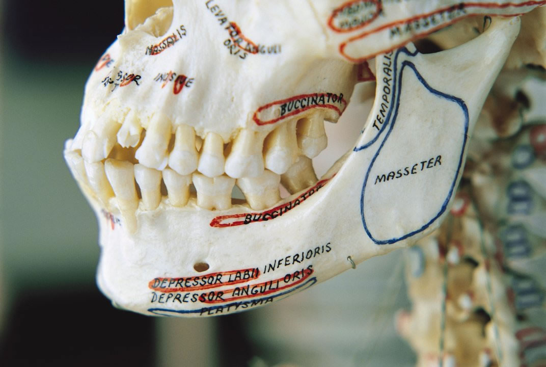 农业的出现使人类的下颚逐渐由粗壮变得纤巧