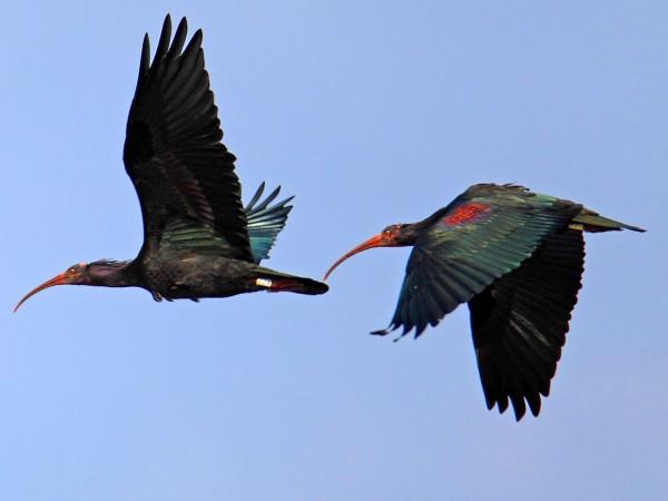 对隐鹮的研究发现一点利他主义让V形鸟群成为可能