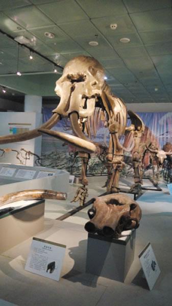 曾出现在大连地区的猛犸象