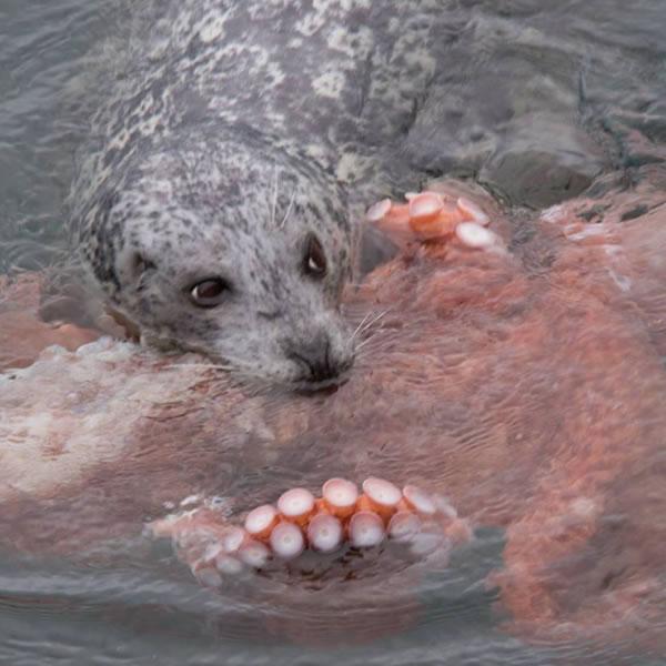 专家评价称,章鱼是海豹的日常猎物,但是用镜头捕捉到海豹捕食的场景却十分罕见。