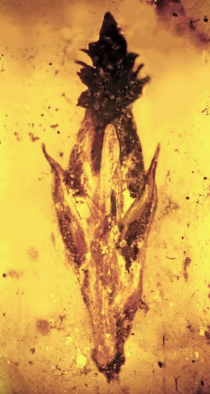 新研究认为恐龙吃过迷幻药,亿年琥珀中发现致幻真菌