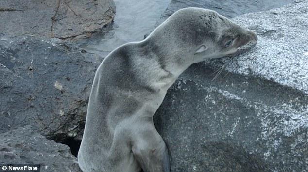 南加州小海狮被困礁石 用生命力挣扎脱困