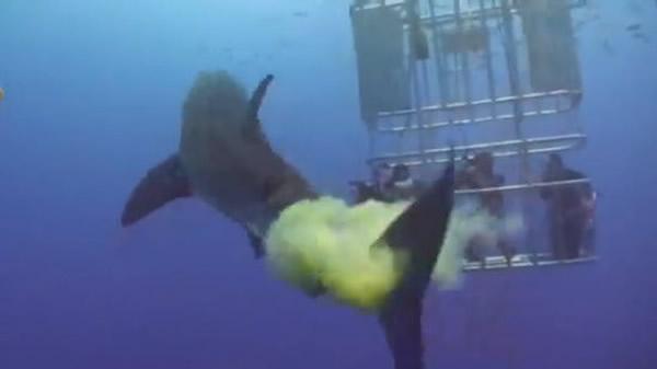 不爽被拍?鲨鱼海中放屁有如黄色烟雾弹