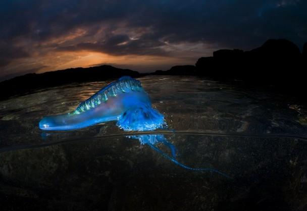水母发出诡异蓝光,像只异形。