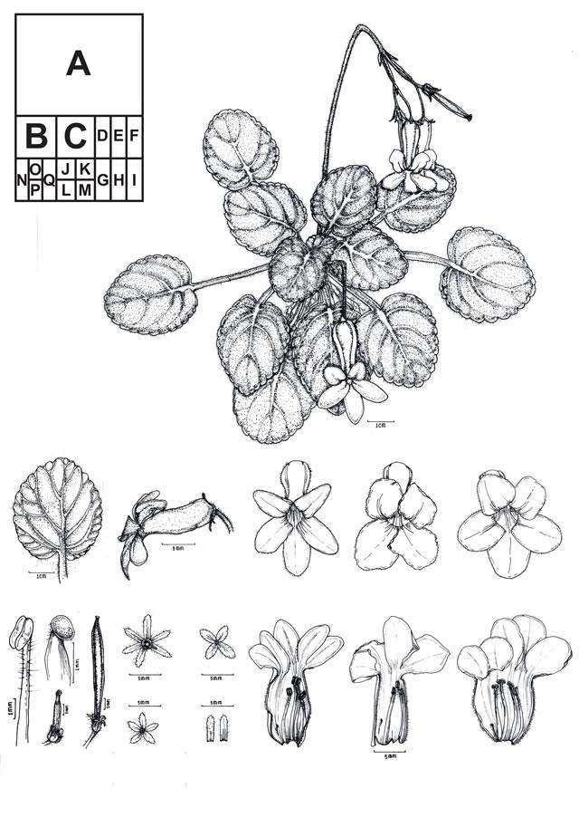 蔡氏马铃苣苔科学画