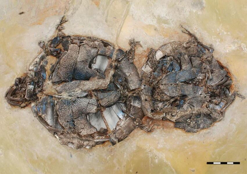 远古乌龟的致命交配