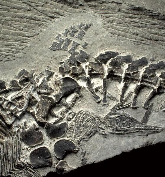 正在分娩之中的雌鱼龙化石