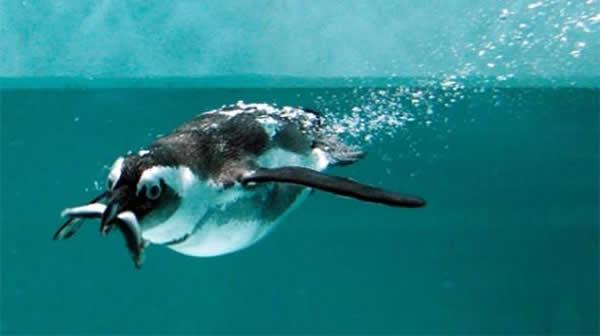 研究人员发现部分企鹅的味觉感受器在进化过程中已经失去功能