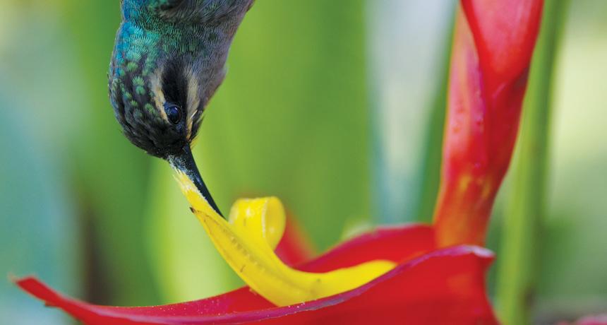 热带植物Heliconia tortuosa区别访问它的花的传粉者