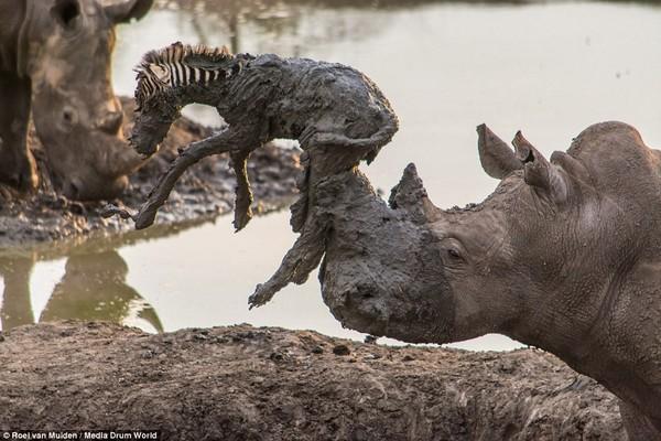 南非犀牛试图营救一只陷在泥潭的小斑马却不慎刺死它