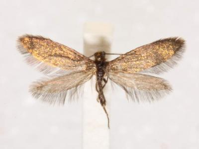 """澳大利亚袋鼠岛发现曾生活在远古时代的""""谜""""蛾"""