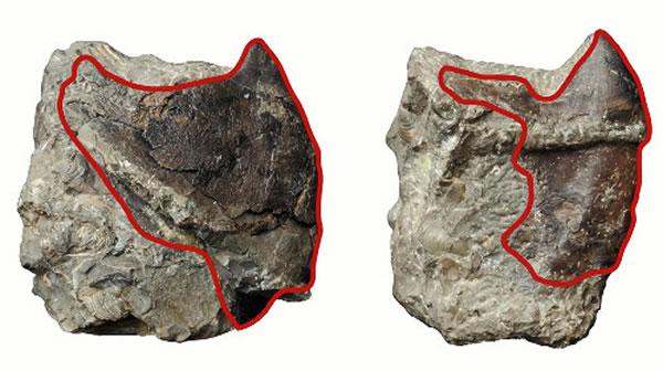 研究人员发现的墨鱼(右)和章鱼化石