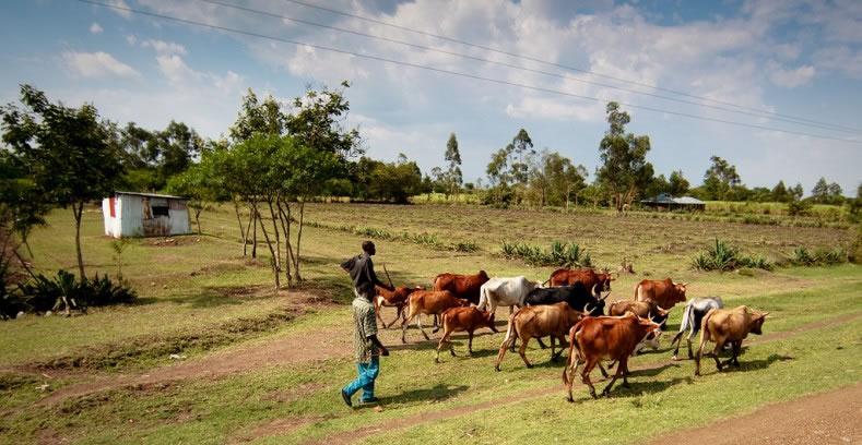 采采蝇与锥虫病(即昏睡病)的威胁可能没有构成放牧在非洲向南部扩散的一个障碍