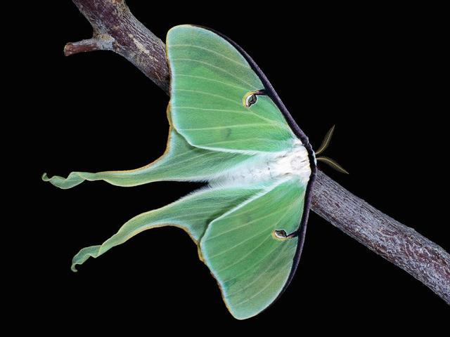 天蚕蛾翅膀末端的独特尾翼能够干扰蝙蝠的声纳定位