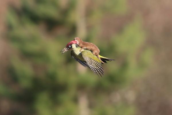 鼬鼠骑啄木鸟的照片在网上引发热议,没想到不到一星期,又有一只鼬鼠登上了新闻版面。
