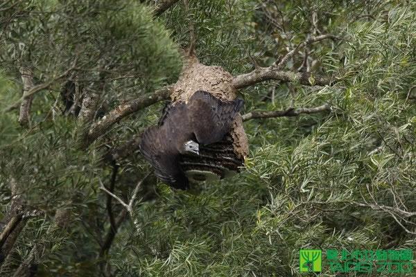 东方蜂鹰属于稀有保育类动物,以蜂类的幼虫、蛹、成虫及巢片为主食。(图/台北市立动物园提供)